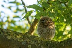 Gullig liten uggla som sover i ett träd Arkivfoton