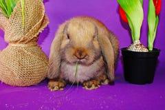 Gullig liten ung kanin att oavbrutet tjata för att beskära gå i ax dvärg- kaniner arkivbilder