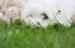 Gullig liten vit hund som ligger i gräsplanen - kvickt begrepp med lodisar Royaltyfria Foton