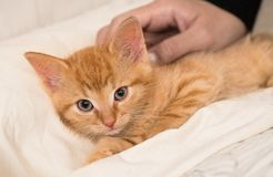 Gullig ljust rödbrun kattunge och mänsklig hand Inhemsk katt åtta gamla veckor Felissilvestriscatus royaltyfri bild