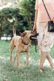 Gullig lojal hund som ser hans ägare, begrepp för bästa vän för man` s, Royaltyfri Fotografi