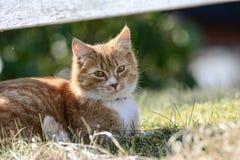 Gullig loocking för kattwatchin Fotografering för Bildbyråer
