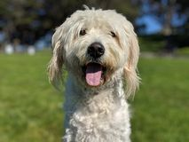 Gullig lycklig flämtande hund med tungan som ser ut skev med suddigt gräs och träd, och blå himmel i bakgrunden royaltyfria bilder