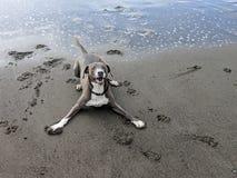 Gullig lycklig le hund som är klar att spela i lekslagställning på den sandiga stranden royaltyfri bild