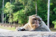 Gullig Macaqueapa på Angkor Wat Temple i Cambodja fotografering för bildbyråer