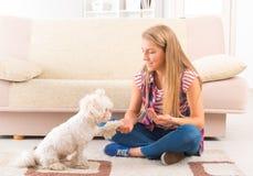 Gullig maltesisk hund som ger en tafsa royaltyfri foto