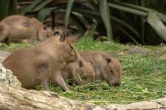 Gullig matning tre behandla som ett barn capybaraen arkivfoto