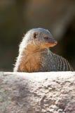 gullig meerkat Royaltyfri Foto