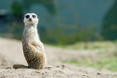 gullig meerkat royaltyfri fotografi