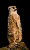 Gullig meerkat som sitter upprätt på klockan som ser till rätten Royaltyfri Bild