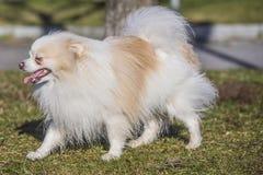 Gullig miniatyrhund Arkivbild