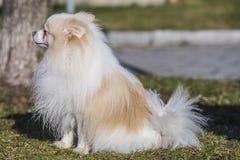 Gullig miniatyrhund Arkivbilder