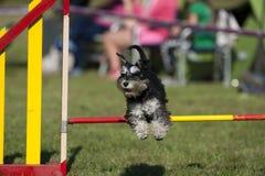 Gullig miniatyrSchnauzer som hoppar över vighethäck på konkurrens Royaltyfria Bilder