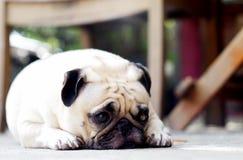 Gullig mopshund Royaltyfri Foto