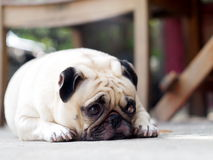Gullig mopshund Royaltyfria Foton