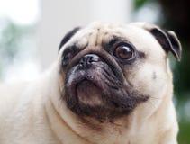 Gullig mopshund Royaltyfri Bild