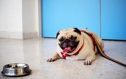 Gullig mopshund Arkivfoto