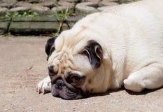 Gullig mopshund Arkivfoton