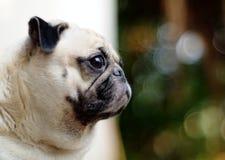 Gullig mopshund Arkivbilder