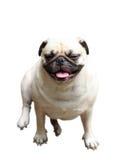 Gullig mopshund Royaltyfri Fotografi