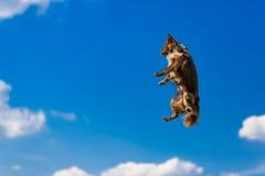 Gullig mycket liten chihuahuabanhoppning i luften, rolig bild fotografering för bildbyråer