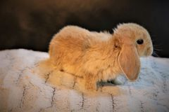 Gullig mycket liten dvärg- kanin fotografering för bildbyråer