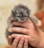 Gullig mycket liten grå fluffig kattunge Royaltyfri Bild
