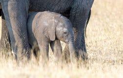 Gullig mycket liten nyfödd kalv för afrikansk elefant som nästan står dess moder för skydd i den Hwange nationalparken, Zimbabwe royaltyfria foton