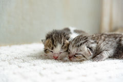Gullig nyfödd kattunge Royaltyfria Foton