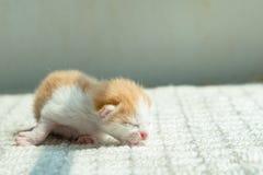 Gullig nyfödd kattunge Royaltyfri Foto