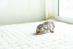 Gullig nyfödd kattunge Arkivfoton