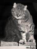 Gullig nyfiken katt i svartvitt Arkivfoton