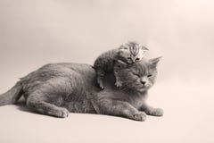 Gullig nyligen uthärdad kattunge arkivfoton