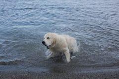 Gullig och galen golden retrieverhund som skakar dess huvud p? stranden royaltyfri fotografi