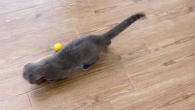 Gullig och liten scotish veckkattunge som spelar med en röd laser-prick arkivfilmer