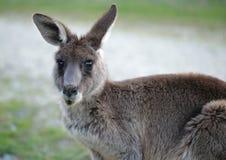 Gullig och nyfiken känguru royaltyfri fotografi
