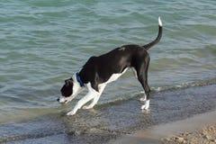 Gullig och nyfiken svartvit hund på en strand Royaltyfri Bild