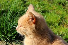 gullig orange för katt fotografering för bildbyråer