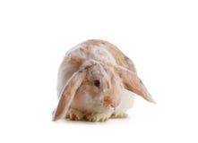 gullig over kaninwhite för bakgrund Arkivfoto