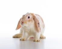 gullig over kaninwhite för bakgrund Fotografering för Bildbyråer
