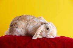 gullig over kaninyellow för bakgrund Arkivfoton