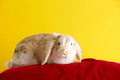 gullig over kaninyellow för bakgrund Royaltyfri Bild