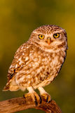gullig owl Arkivfoto