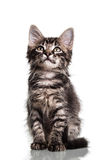 Gullig päls- kattunge Royaltyfri Fotografi