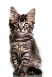 Gullig päls- kattunge arkivfoton