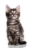 Gullig päls- kattunge royaltyfri bild
