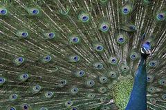 gullig påfågel för fågel Royaltyfri Bild