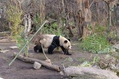 Gullig panda i den Wien zoo Schoenbrunn fotografering för bildbyråer