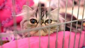 Gullig perser behandla som ett barn katten arkivfilmer