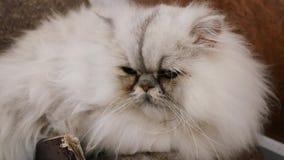 gullig perser för katt arkivfilmer